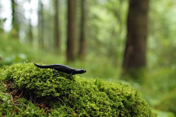 Alpenlandsalamander - Salamandra atra