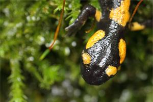 Vuursalamander - Salamandra salamandra