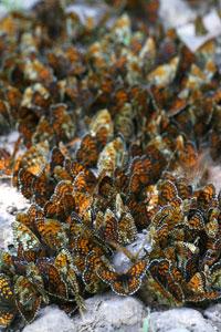 Grote groep Bosparelmoervlinders