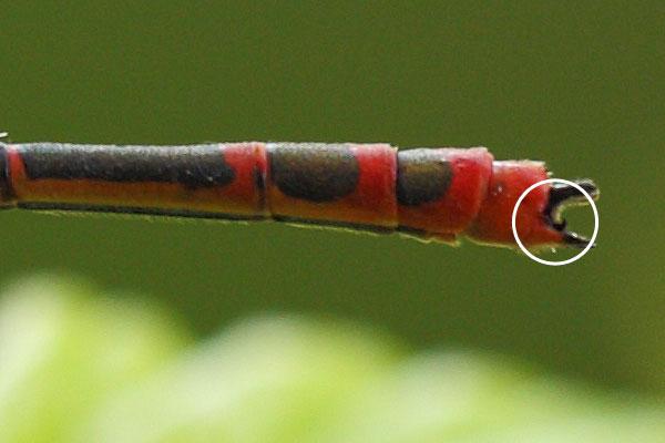 Detail Griekse vuurjuffer - Pyrrhosoma elisabethae