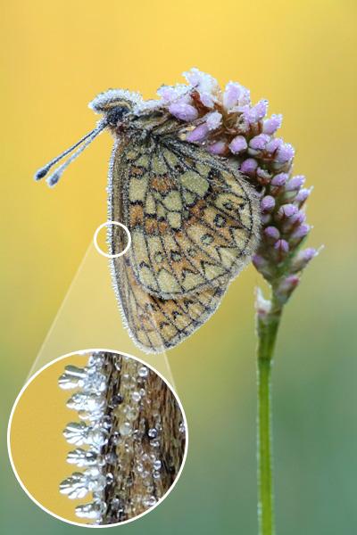 Ringoogparelmoervlinder - Boloria eunomia met rijp