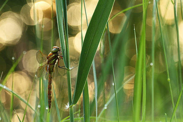 Overzicht Glazenmakers - Aeshnidae