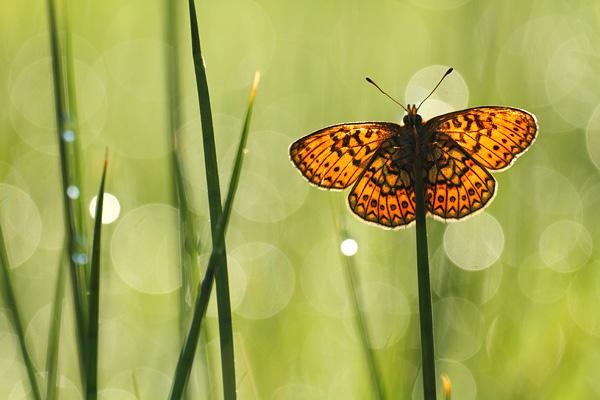Overzicht Aurelias - Nymphalidae