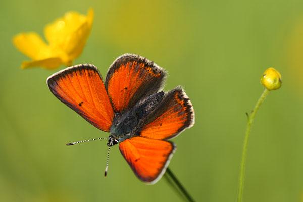Overzicht Blauwtjes - Lycaenidae