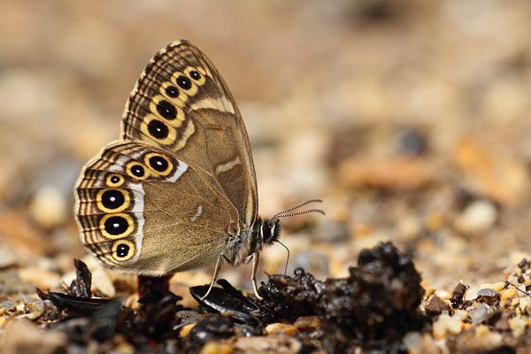 Overzicht Zandoogjes - Satyridae