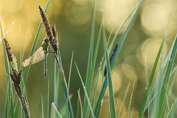 Smaragdlibel - Cordulia aenea