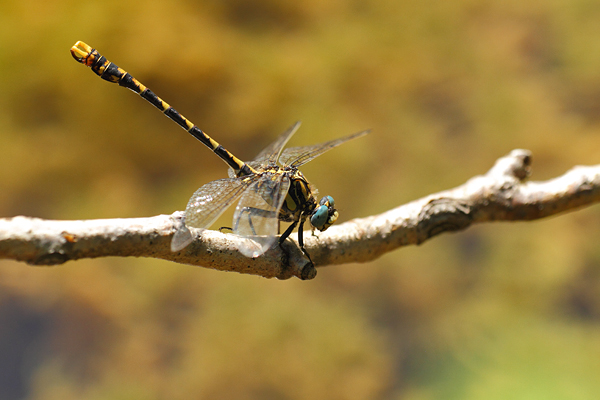 Grote tanglibel - Onychogomphus uncatus