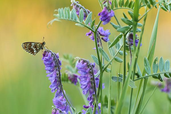 Alpenparelmoervlinder - Melitaea varia