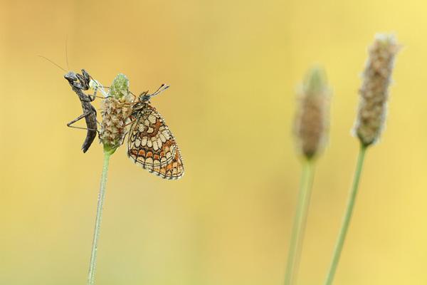Bosparelmoervlinder - Melitaea athalia