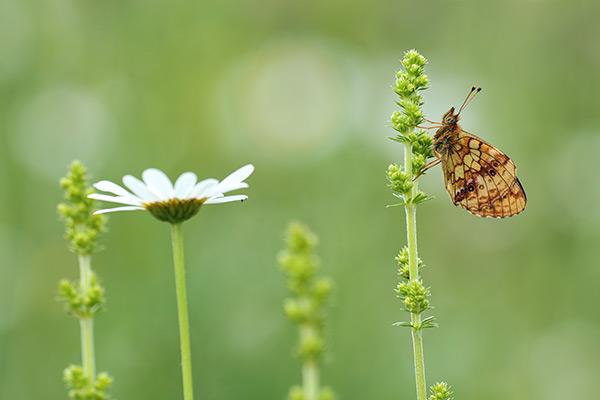 Braamparelmoervlinder - Brenthis daphne