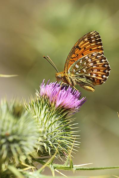 Corsicaanse parelmoervlinder - Argynnis elisa