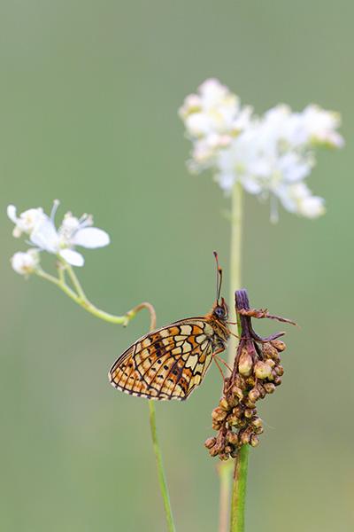 Dubbelstipparelmoervlinder - Brenthis hecate