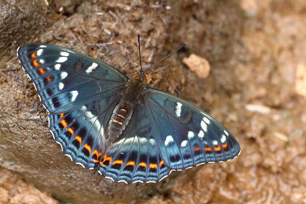 Grote ijsvogelvlinder - Limenitis populi
