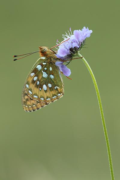 Grote parelmoervlinder - Argynnis aglaja