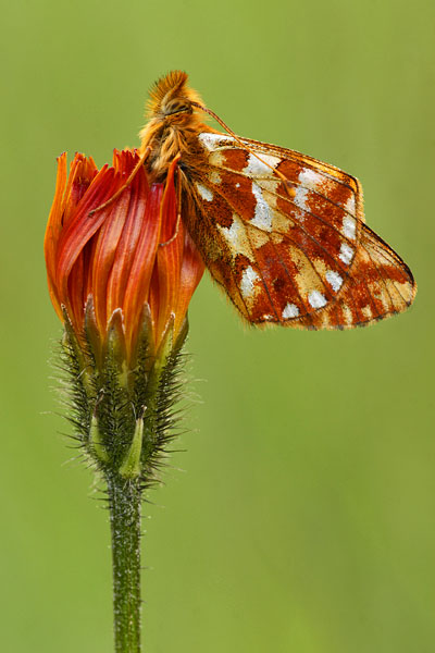 Herdersparelmoervlinder - Boloria pales