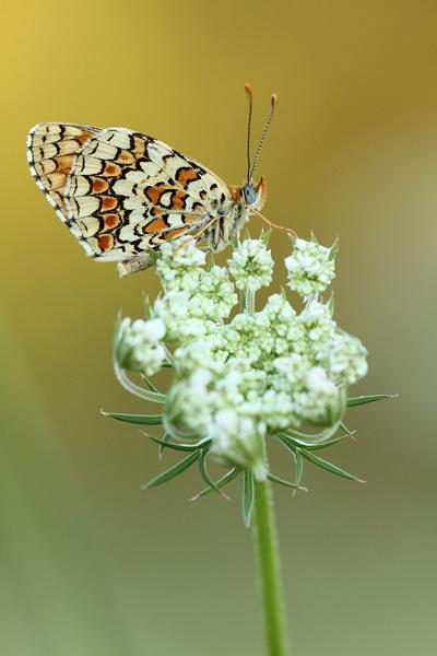 Knoopkruidparelmoervlinder - Melitaea phoebe