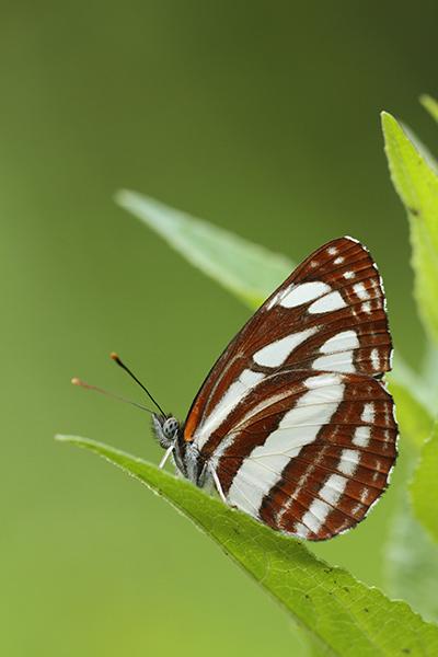 Lathyruszwever - Neptis sappho