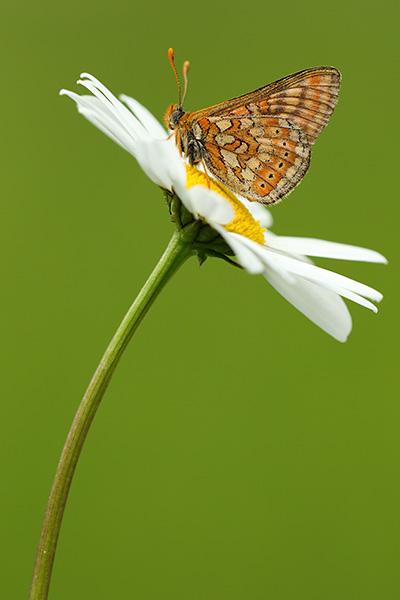 Moerasparelmoervlinder - Euphydryas aurinia