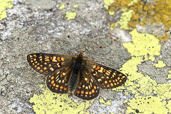 Moerasparelmoervlinder - Euphydryas aurinia debilis