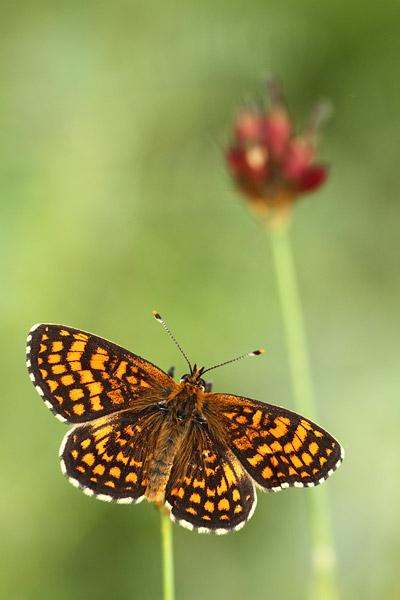 Oostelijke parelmoervlinder - Melitaea britomartis