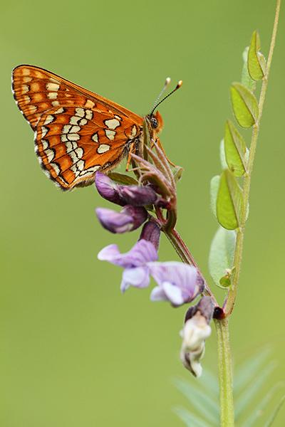 Roodbonte parelmoervlinder - Euphydryas maturna