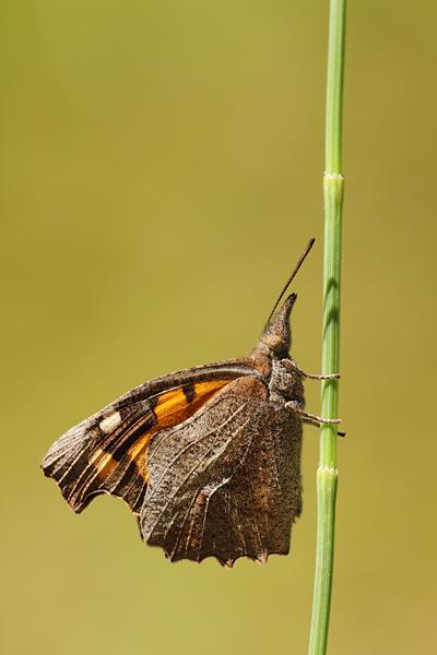 Snuitvlinder - Libythea celtis