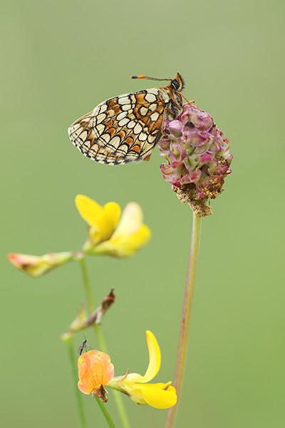Steppeparelmoervlinder - Melitaea aurelia