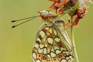Adippevlinder - Argynnis adippe