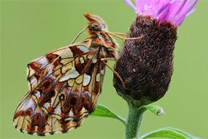 Akkerparelmoervlinder - Boloria dia