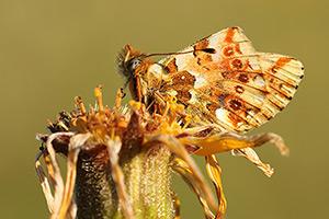 Balkanparelmoervlinder - Boloria graeca