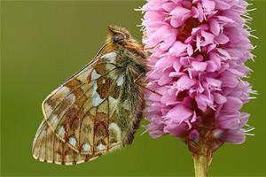 Bergparelmoervlinder - Boloria napaea