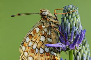 Duinparelmoervlinder - Argynnis niobe