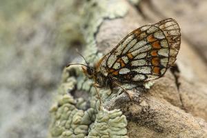 Dwergparelmoervlinder - Melitaea asteria