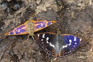 Kleine weerschijnvlinder - Apatura ilia