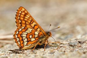 Oranjebonte parelmoervlinder - Euphydryas intermedia
