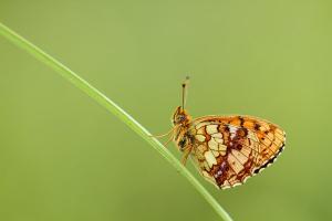 Purperstreepparelmoervlinder - Brenthis ino