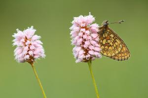 Ringoogparelmoervlinder - Boloria eunomia