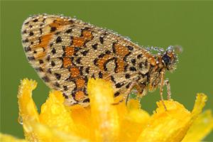 Toortsparelmoervlinder - Melitaea trivia