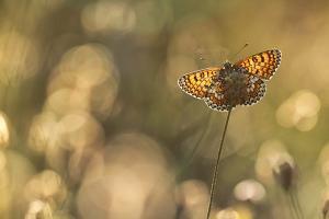 Veldparelmoervlinder - Melitaea cinxia
