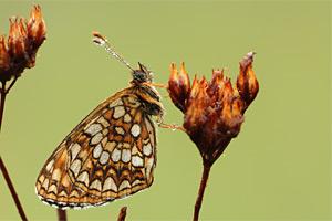 Woudparelmoervlinder - Melitaea diamina