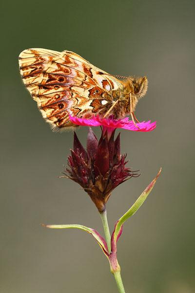 Titanias parelmoervlinder - Clossiana titania