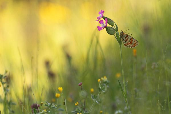 Tweekleurige parelmoervlinder - Melitaea didyma