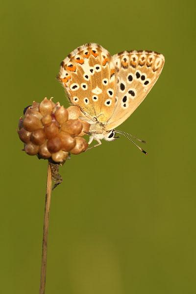 Adonisblauwtje - Polyommatus bellargus
