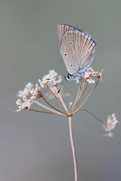 Aosta esparcetteblauwtje - Polyommatus humedasae