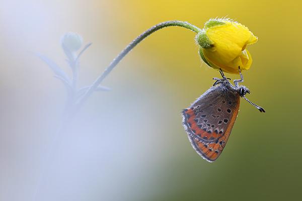 Blauwe vuurvlinder - Lycaena helle