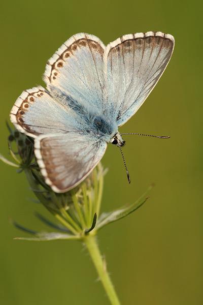Bleek blauwtje - Lysandra coridon