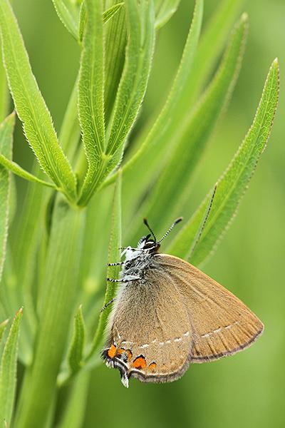 Bruine eikenpage - Satyrium ilicis