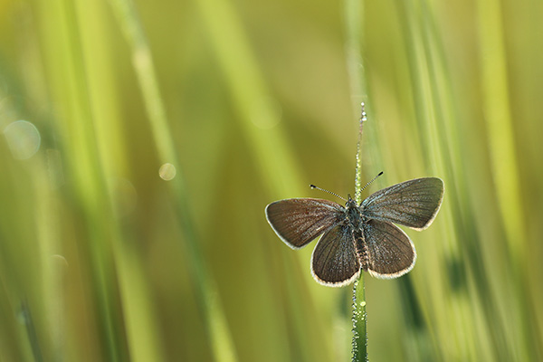 Dwergblauwtje - Cupido minimus