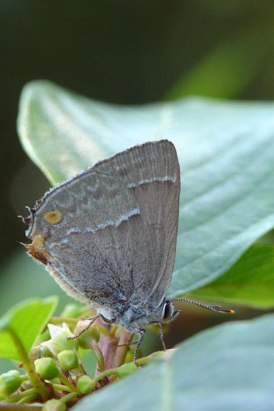 Eikenpage - Neozephyrus quercus