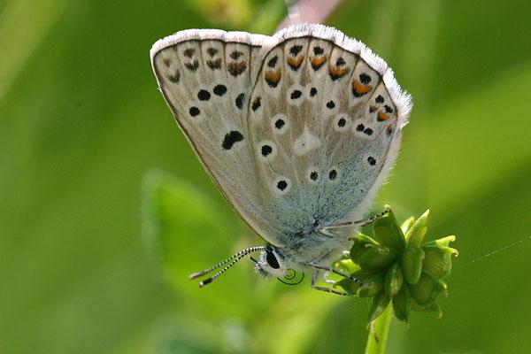 Groot tragantblauwtje - Polyommatus escheri